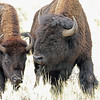 Bison, American  2015-09-17 Yellowstone 2015 069-1