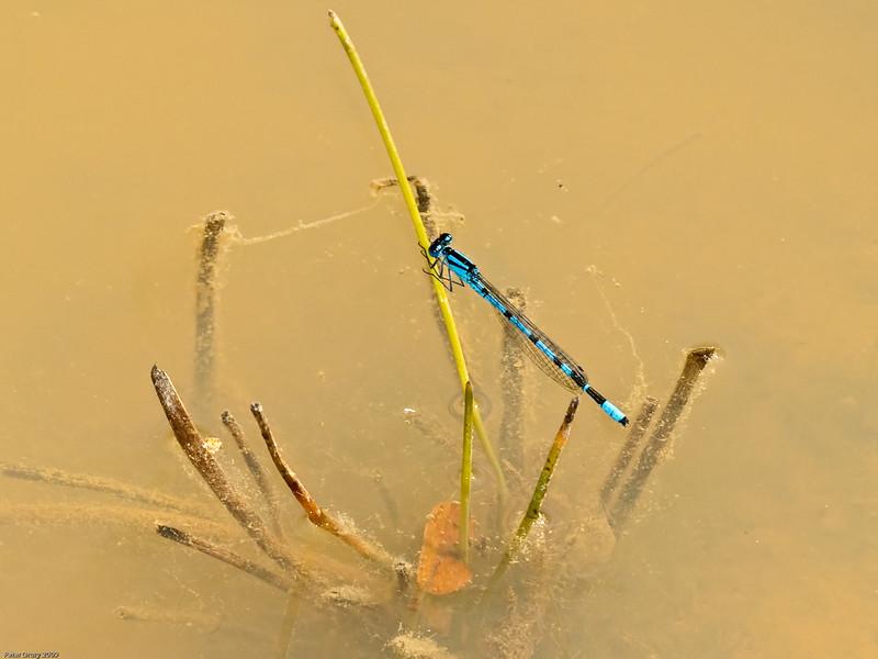 common blue-tailed Damselfly (Ishnura elegans). Copyright 2009 Peter Drury