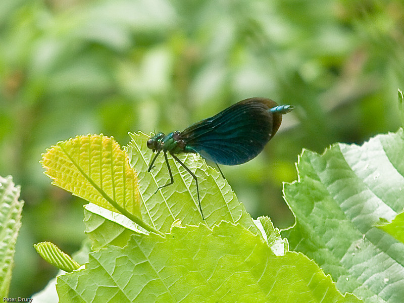 Calopteryx virgo. Copyright 2009 Peter Drury