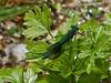 Banded Agrion (Calopteryx splendens). Copyright 2009 Peter Drury