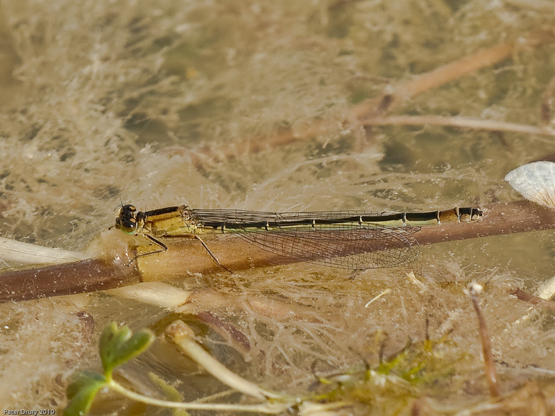 05 Jun 2010. Blue-tailed Damselfly (Ischnura elegans). This example is the form  Rufescens-obsoleta in which the female has a rufous tail instead of a blue tail.  Copyright Peter Drury 2010