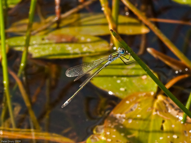 Blue-tailed Damselfly (Ischnura elegans). Copyright 2009 Peter Drury