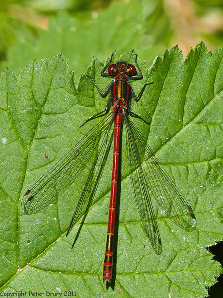 09 May 2011. Large red damselfly at Widley. Copyright Peter Drury 2011