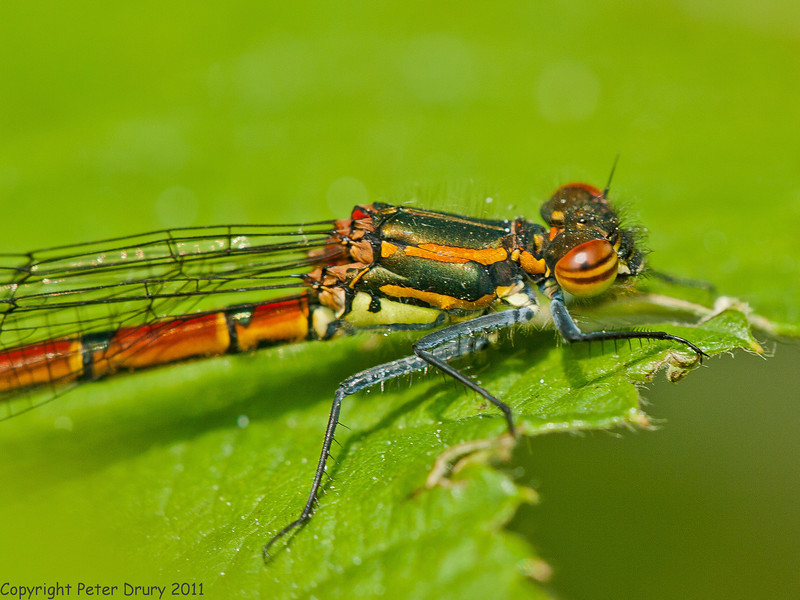 06 May 2011. Large Red Damselfly in the Chalk Quarry. Copyright Peter Drury 2011