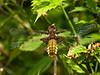 Broad-bodied Chaser, Libellula depressa (Female)