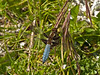 Broad-bodied Chaser, Libellula depressa (Male)
