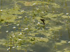 25 May 2012 female laying eggs surrounded by Water Crowfoot (Water Buttercup)