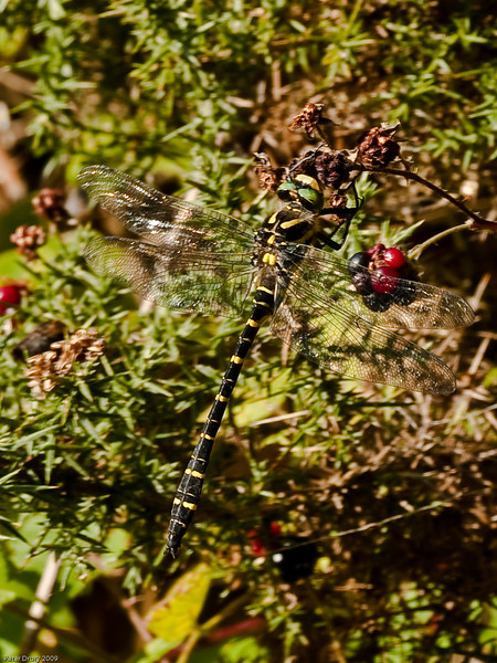 Gold-ringed Dragonfly (Cordulegaster boltonii). Copyright 2009 Peter Drury