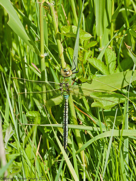 16 May 2011. Emperor Dragonfly at Milton Common. Copyright Peter Drury 2011