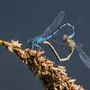 Common Blue Damselfly - Almindelig Vandnymfe