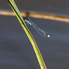 Red-eyed Damselfly - Rødøjet Vandnymfe