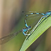 Variable Damselfly - Flagermusvandnymfe