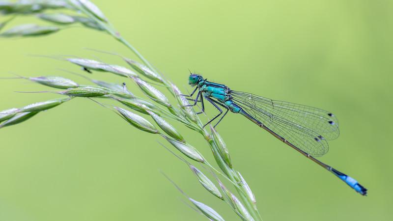 Blue-tailed damselfly ♀︎ / Ischnura elegans f. typica ♀︎ / Lantaarntje (typica vorm) ♀︎