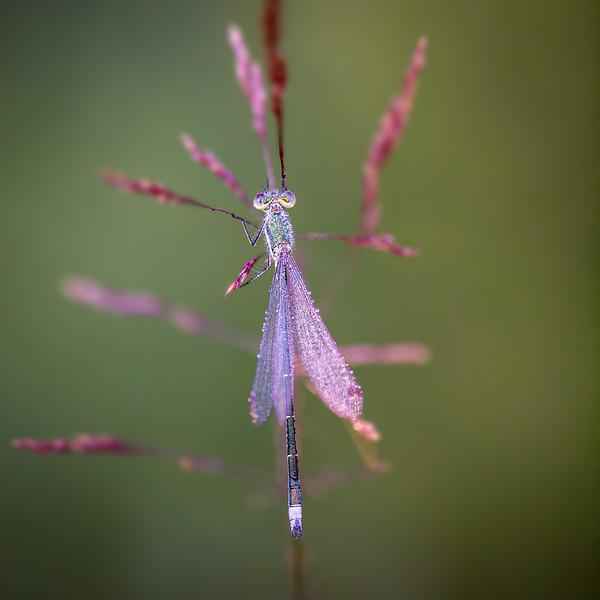 Small Emerald Spreadwing / Lestes virens / Tengere Pantserjuffer