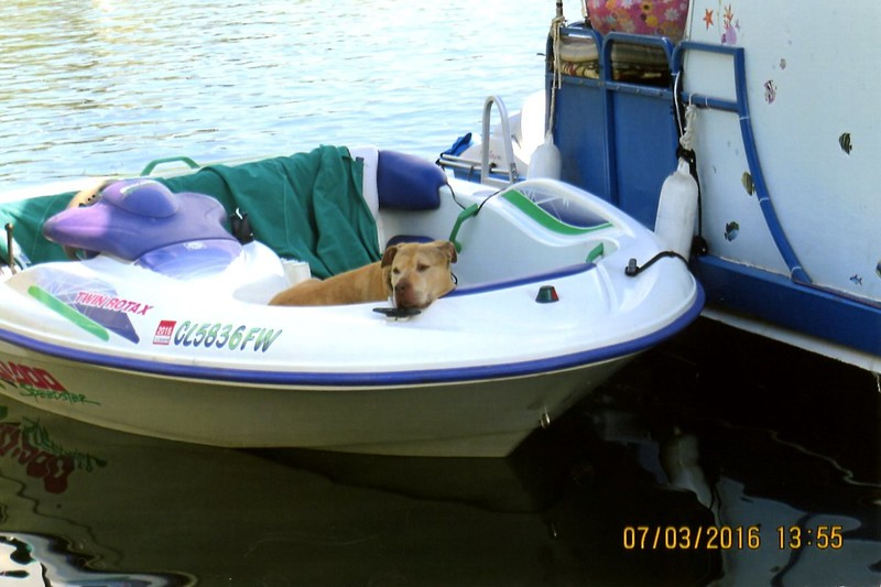 Biscuit the Pit Bull - 2016 (Jul) - Age 7 - Biscuit hangs out at the lake on his favorite perch - Horsetooth Reservoir - Fort Collins, CO - Photo provided by fellow boater on the North Dock