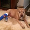 Biscuit the Pit Bull (2008-2017)  - Fire Rock Place home - Loveland, CO<br /> <br /> Dan's note:<br /> <br /> While he put up a stoic fight, Biscuit lost his battle with cancer on January 13, 2017.<br /> <br /> As with his predecessors Max and George, Biscuit deepened our respect for the breed and will always be remembered with laughter and love as a member of our family.