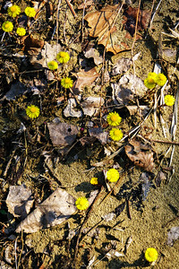 Coltsfoot, CVNP, Pine Hollow to Perkins Trail Run, April 2011.