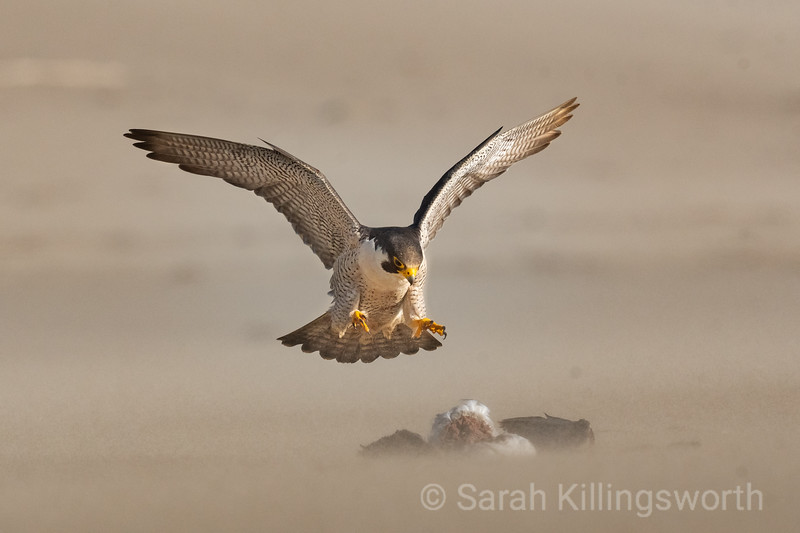 peregrine falcon landing on the beach for a meal