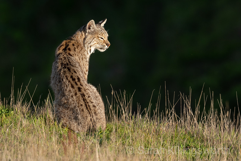a bobcat looks towards the setting sun in March 2020