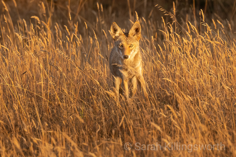 A young coyote in the golden glimmer of the last light