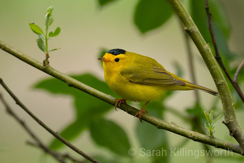 wilson's warblers are a welcome sight every Spring