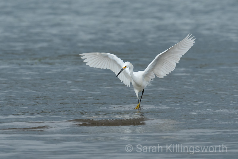 an egret dancing on the shores of the Tomales Bay