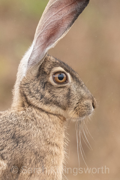 black-tailed jack rabbit sitting in a field