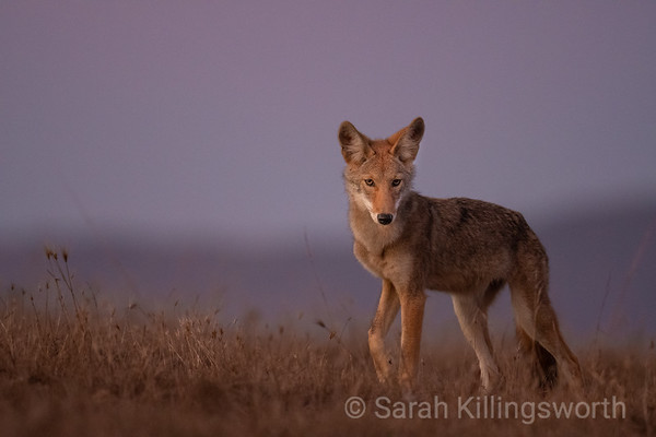 a young coyote hunting at sunset