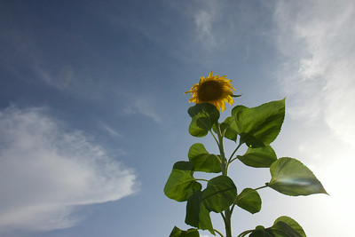 Sunflower in the summer blue sky, June 26, 2014.