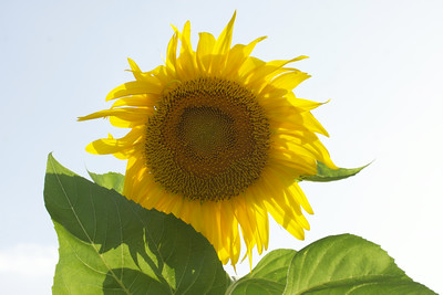 Sunflower, front view, 2