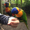 Debbie feeding some spectacular parrots at Parrot Mountain.  (Picture taken with an iPhone 4s.)