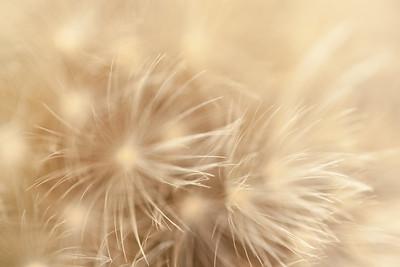 Fireworks Dandelion