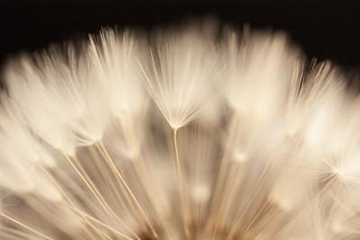 Bristling Dandelion