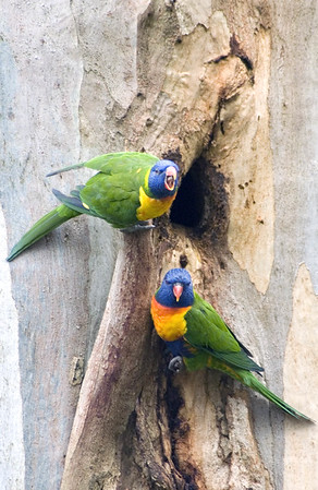 Rainbow Lorikeets at nest-hole, Forest Grey Gum