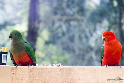 King Parrot pair - Belgrave