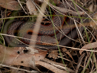 DSC3088A Red-bellied Black Snake, near Sherbrooke Forest