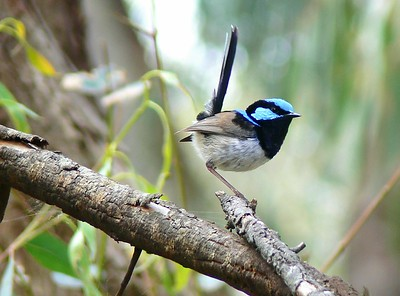 Blue Wren (now Fairy Wren)