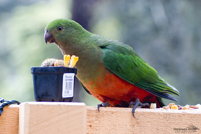 King Parrot - female