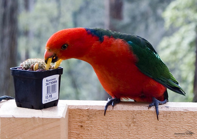 King Parrot - mmmm cactus flower