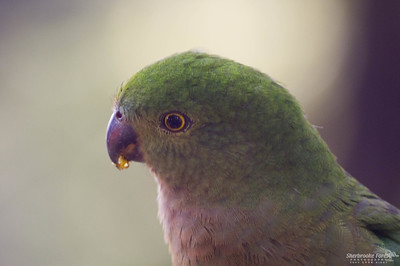 Female King Parrot, Belgrave