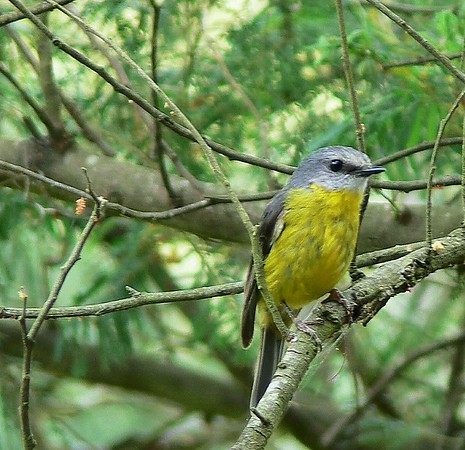 Eastern Yellow Robin, Lysterfield Lake Reserve