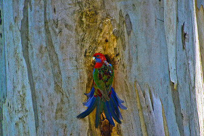 DSC0105 Young Crimson Rosella at nesthole, Belgrave