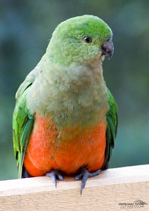King Parrot (female)