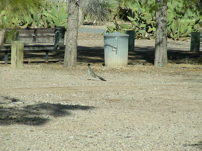 Road Runner | Pancho Villa State Park, Columbus, New Mexico | 2/6/2010