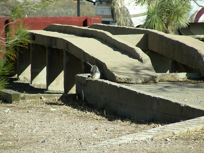 Road Runner at U.S. Army Maintenance Depot | Pancho Villa State Park, Columbus, New Mexico | 2/6/2010