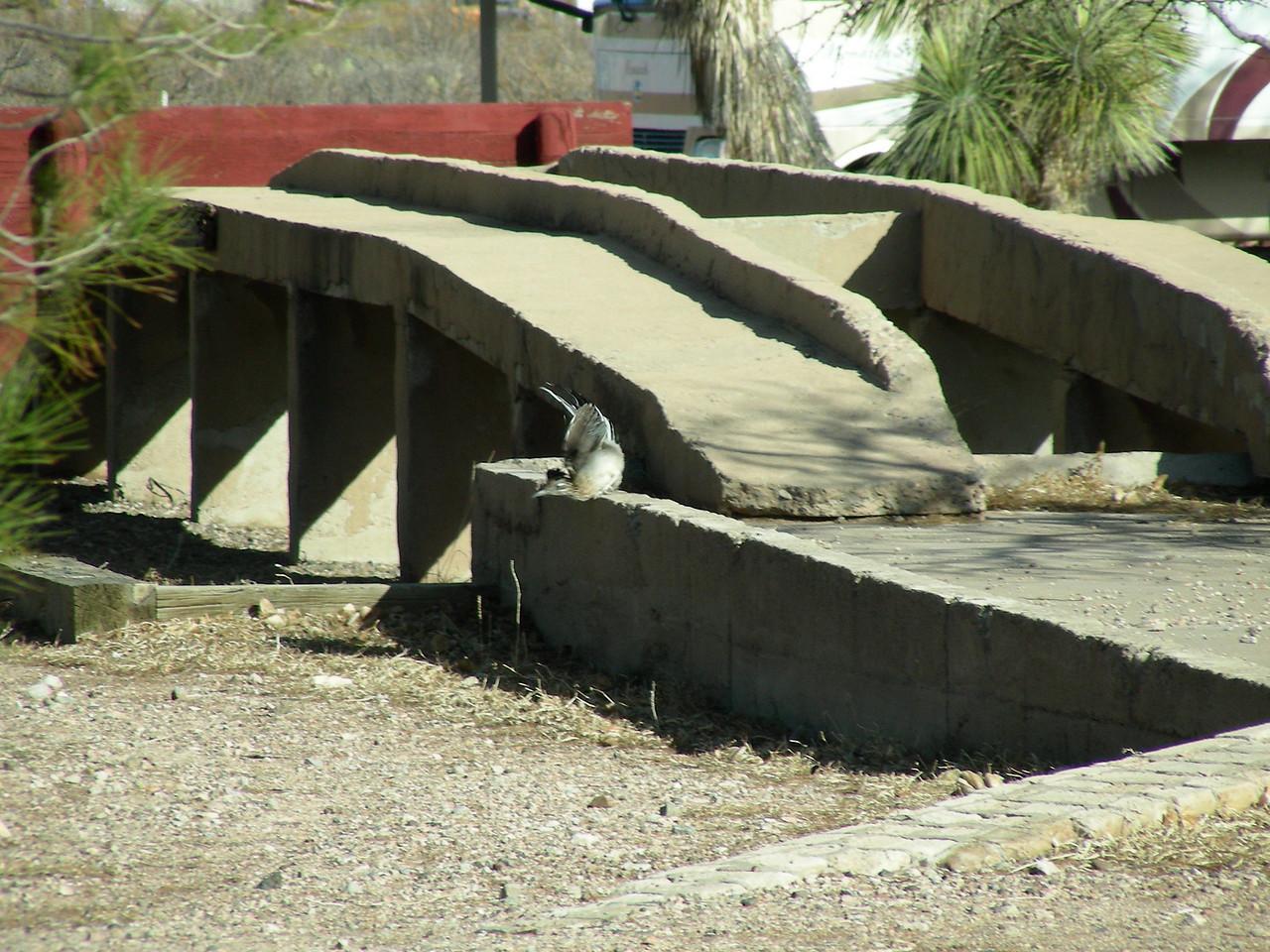 Road Runner at U.S. Army Maintenance Depot | Pancho Villa State Park, Columbus, New Mexico | 2/6/2010