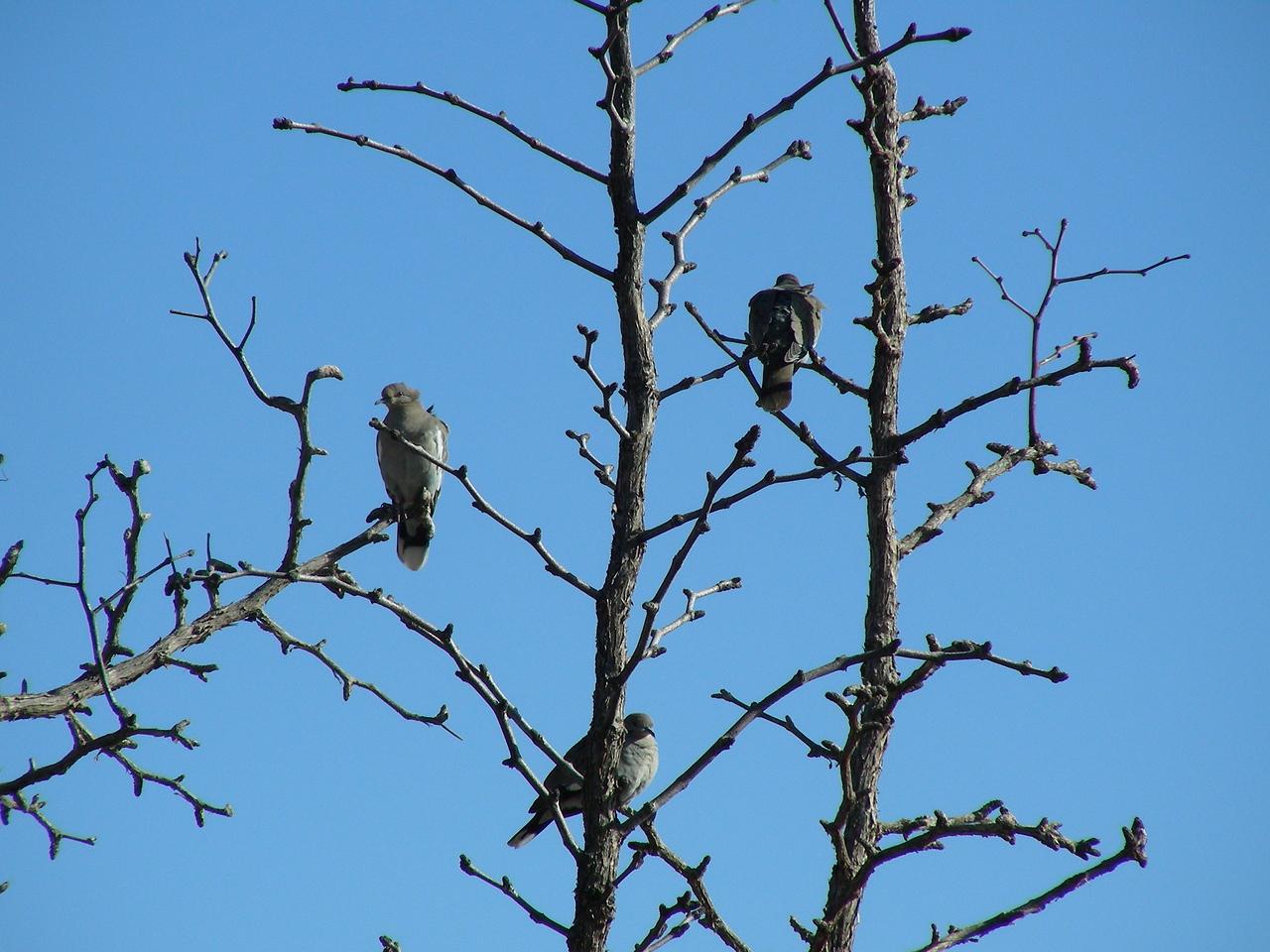 Turtle Doves | Pancho Villa State Park, Columbus, New Mexico | 2/6/2010