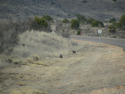 Javelinas or Collared Peccaries (Tayassu tajacu) along the road heading down to Terlingua, TX-118 (about 8 to 10 in this herd or band) | 3/7/2010