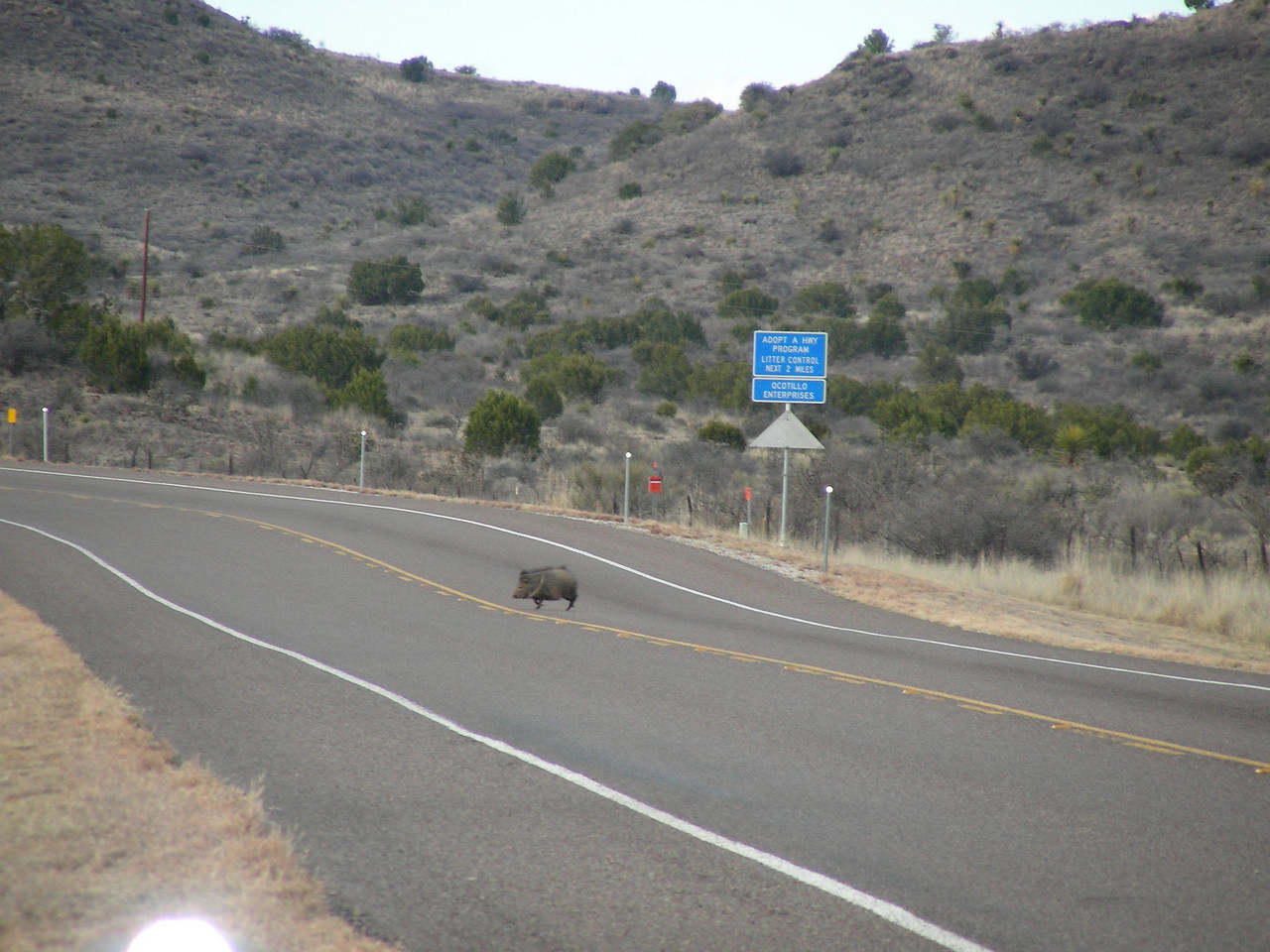 Javelinas or Collared Peccaries (Tayassu tajacu) along the road heading down to Terlingua, TX-118 | 3/7/2010