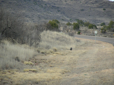 Javelinas or Collared Peccaries (Tayassu tajacu) along the road heading down to Terlingua, TX-118 | 3/7/2010